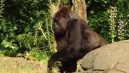 Gorilla geniet van verjaardagstaart