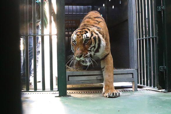 De tijgers kwamen vandaag aan in Oudsbergen.