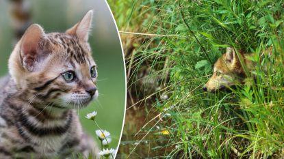 Jarenlang vreesde politie dat 'kattendoder' zou overschakelen op menselijke slachtoffers. De dader blijkt nu ... een vos