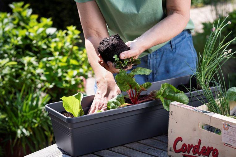 Om sla te kweken heb je niet veel plaats nodig. Het kan gewoon in een smalle bak op je vensterbank
