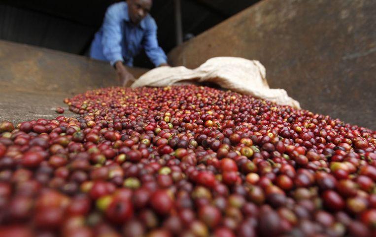 Een arbeider sorteert koffiebonen in een fabriek in Keinjege, Kenia. Deze zomer werd bekend dat deze koffieproducent een genetisch gemodificeerde soort ontwikkeld die beter tegen droogte en ziekte kan, en bovendien meer smaak en cafeïne bevat. Beeld null