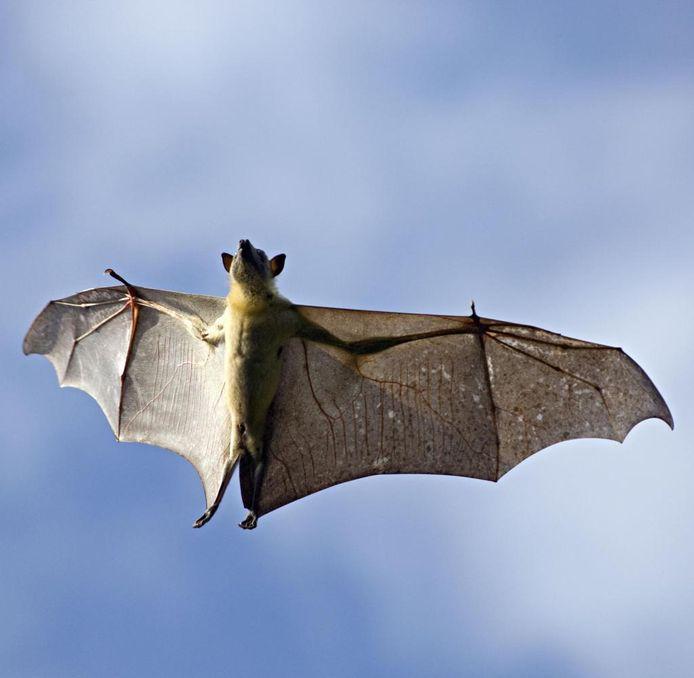 SallandWonen is voor het onderzoek naar beschermde diersoorten op zoek naar vrijwilligers, die het bijvoorbeeld leuk vinden om uitvliegende vleermuizen te tellen.