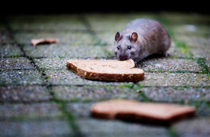 Een rat. Foto ter illustratie.