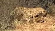 Toeristen getuige van zeldzaam spektakel: cheeta's doen triootje terwijl giraffen toekijken