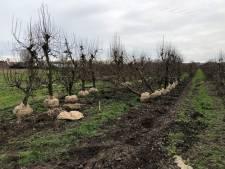 Tweede leven voor oude perenbomen