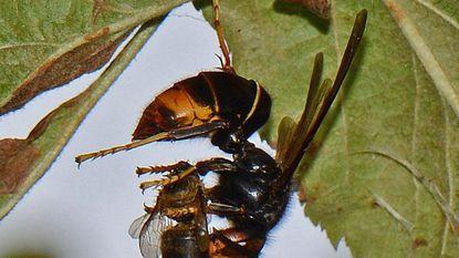 Brandweer waarschuwt voor Aziatische hoornaars