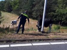 Koe breekt los naast A58 bij Gilze, krijgt waarschuwing van de politie