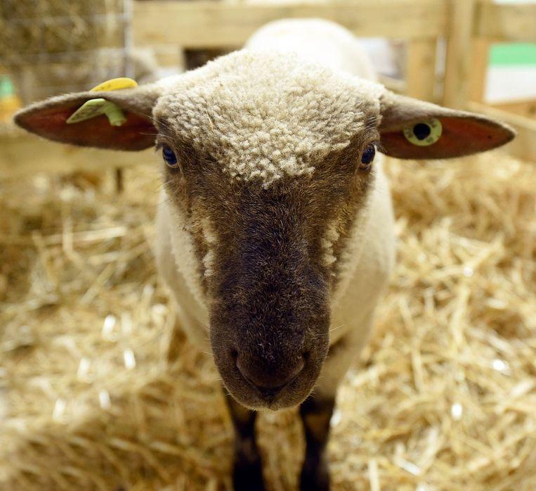 Een schaap.