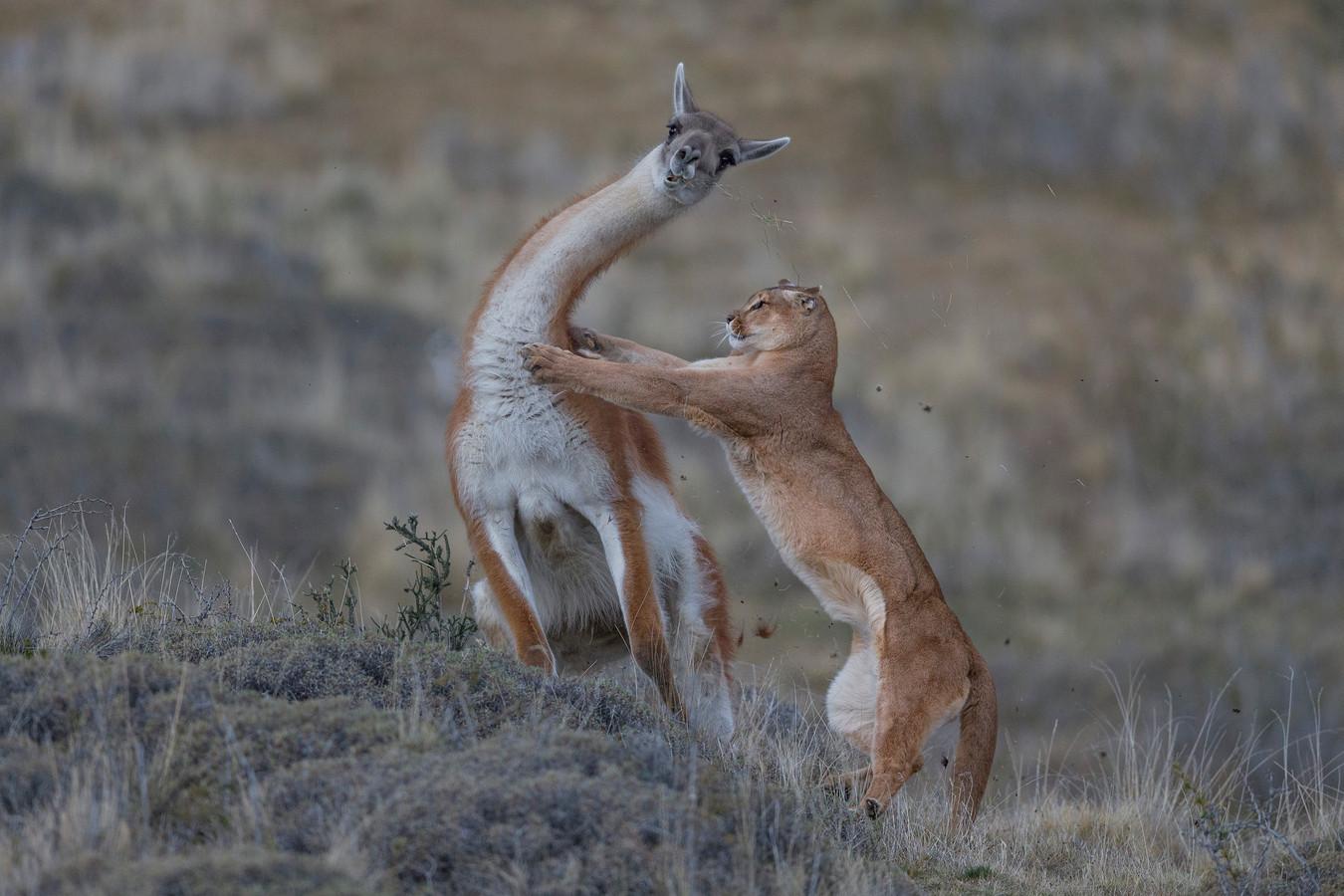 Een vrouwelijke puma valt een volwassen lama aan in Patagonië.