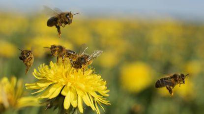 Bijen kunnen rekenen volgens nieuwe studie