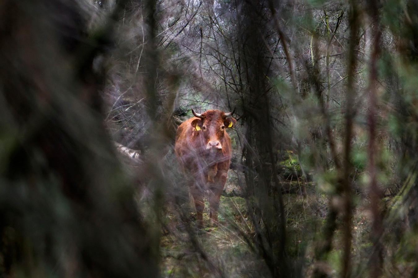 Hermien verschanst zich al weken in het bos bij Lettele.