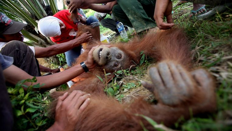 Een dierenarts onderzoekt begin deze maand een gewonde orang-oetan in Rimba Sawang. Beeld ap