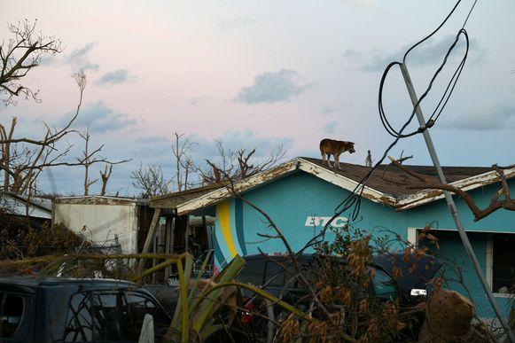 Een achtergelaten hond op een dak van een vernielde woning op het eiland Great Abaco.
