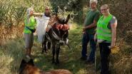 55 vrijwilligers ruimen op wereldopruimdag zwerfvuil aan Antitankgracht en krijgen daarbij hulp van ezel