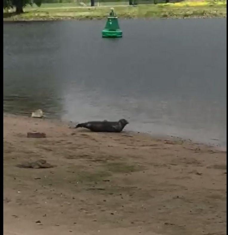 De zeehond bij Vianen. Beeld Derk Lamphen