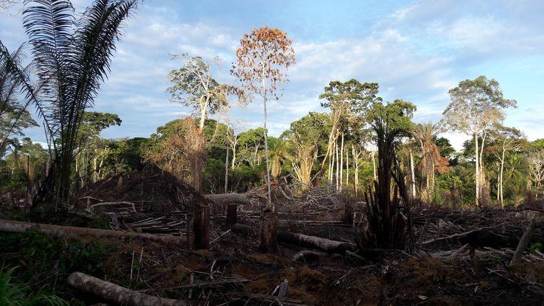 Voorbeeld van zwerflandbouw in het regenwoud. Beeld