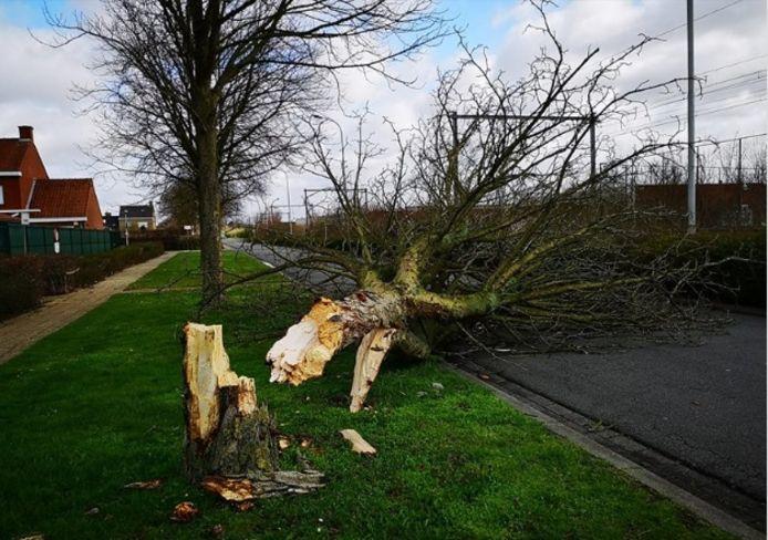 In Bissegem kraakte een boom af en kwam op de weg terecht.