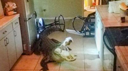 Bejaarde vrouw 's nachts opgeschrikt door reusachtige alligator in keuken
