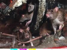 Rattenprobleem in het Noorden: 'Verdacht dat er zo weinig meldingen binnenkomen'