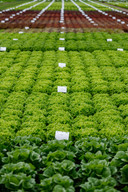 Wel vierhonderd rassen sla heeft het Fijnaartse groenteveredelingsbedrijf Rijk Zwaan in de aanbieding.