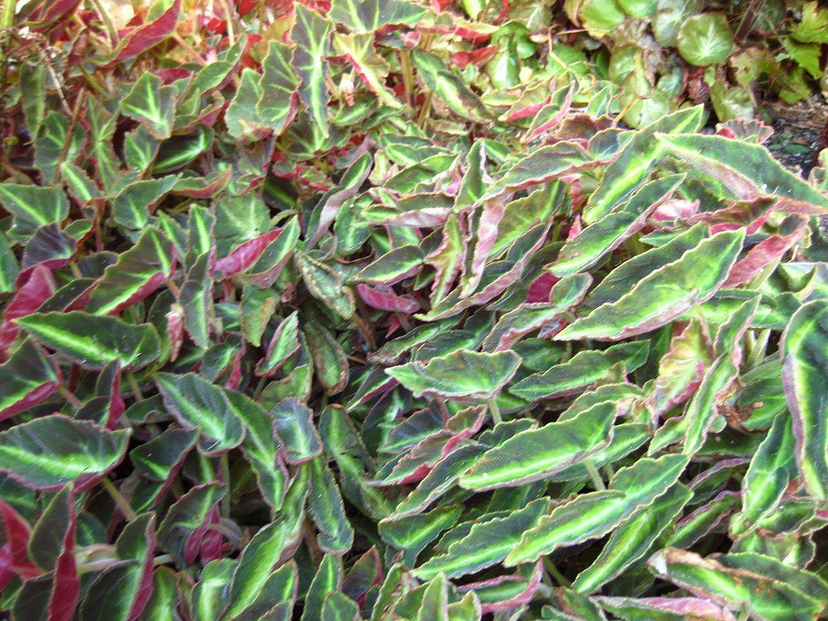 Begonia listada.