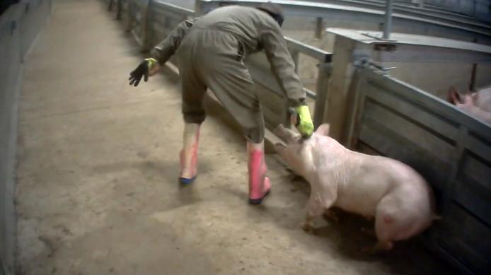 Animal Rights filmde mishandeling van varkens in slachthuis Tielt, België