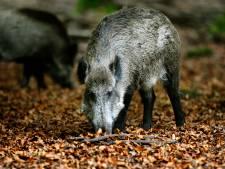 Ergernis door wilde zwijnen op de Veluwe