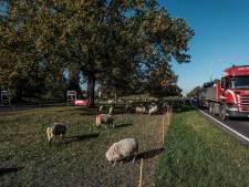 Doesburgse schapen gered, wel besparing door poepende duiven te weren bij monument