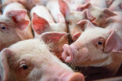 Varken kan helpen tegen orgaantekort: afgekeurde donorlongen opgeknapt met dierlijk bloed