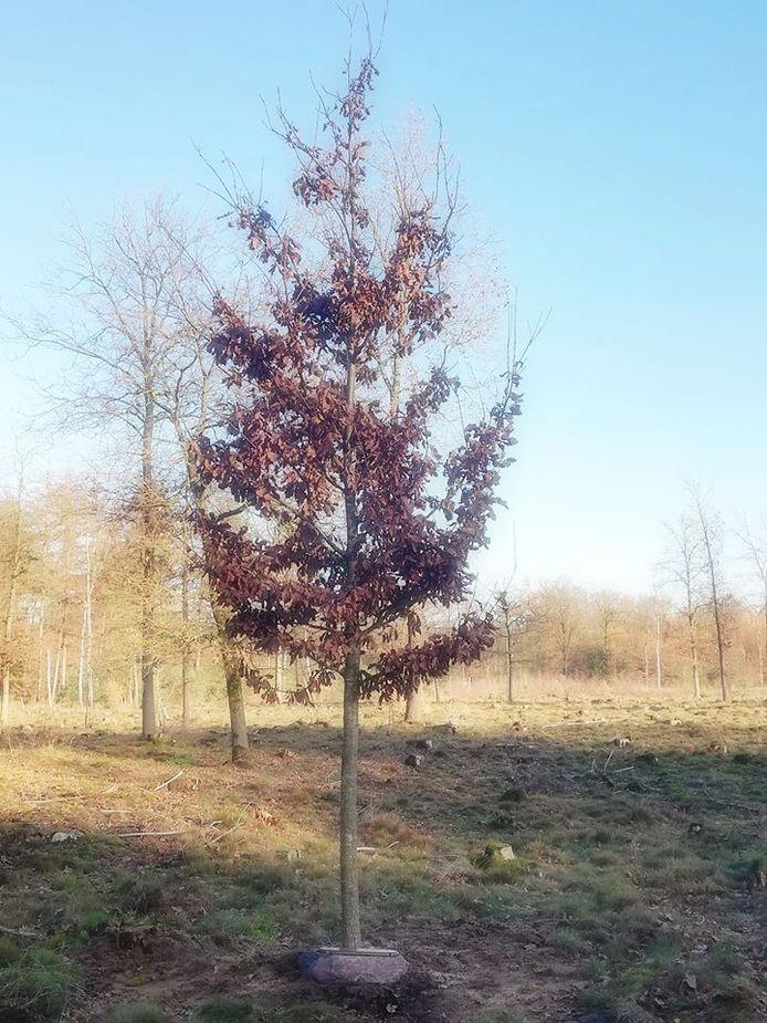 De 'Dennis-boom' ter nagedachtenis aan de in april overleden Hellendoornse GroenLinks-wethouder Dennis op den Dries (35).