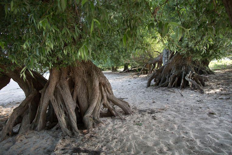 De 'mangrovewilgen' Beeld Werry Crone