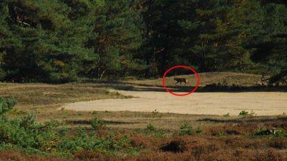 Ook in Nederland drie wolven spoorloos verdwenen