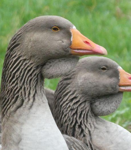 Zeven dode ganzen in afvalbak gevonden in Spijkenisse