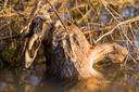 Een verdronken haas met hoogwater in de Oude Waal.