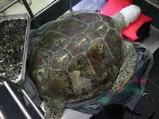 Zeeschildpad dankzij operatie verlost van 915 doorgeslikte munten