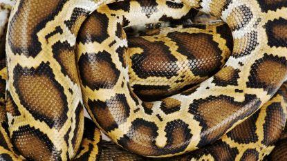 Python van vier meter bewaakt cannabisplantage in appartement, vijf brandweermannen nodig om slang te vangen