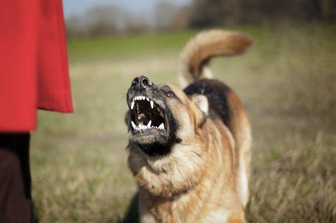 'Ik ben aangevallen door een groep honden', schrijft Kenneth van de Tol op Facebook. Volgens de hondenuitlater zit dat heel anders. (foto ter illustratie)