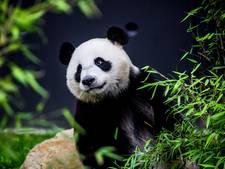 Panda's hebben het naar hun zin in Rhenen