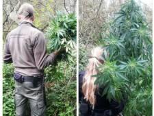Wietplanten gevonden in de bossen bij Olst: 'Dit zorgt voor veel schade in de natuur'