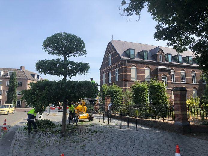 De geloofsboom in Uden wordt weer in de juiste vorm gesnoeid.