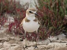 Bedreigde strandplevier maakt comeback