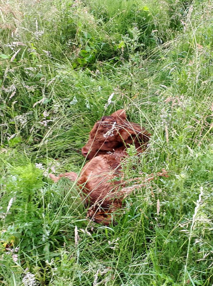 Hooglandertje in het hoge gras op de Roosendaalse Landerije.