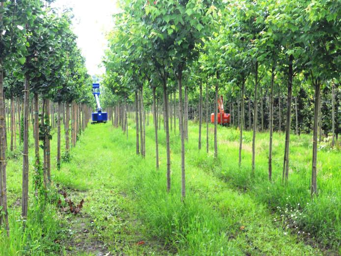Honderden, zo niet duizenden bomen worden gesnoeid.