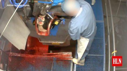 Nu ook slachthuis in Hasselt in opspraak na dierenmishandeling