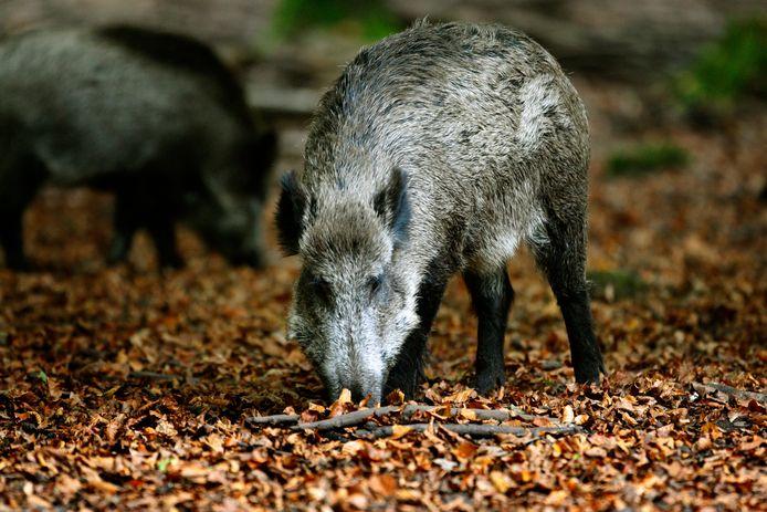 Op de Veluwe zorgt de steeds groter wordende populatie wilde zwijnen voor overlast.