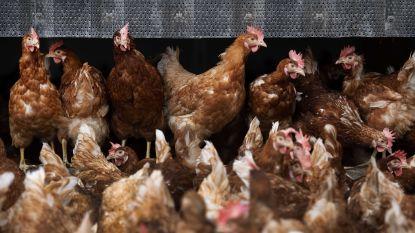 16.000 kippen blijven in zware stalbrand