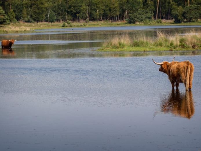 Schotse Hooglander zoekt verkoeling in het Witven in Someren.