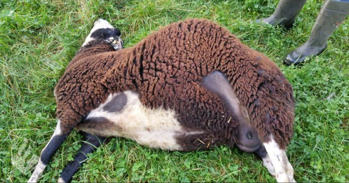 Vier drachtige schapen werden dood gebeten. Twee raakten gewond.