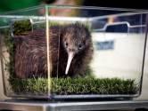 Kiwi Tuatahi groeit als kool in Avifauna