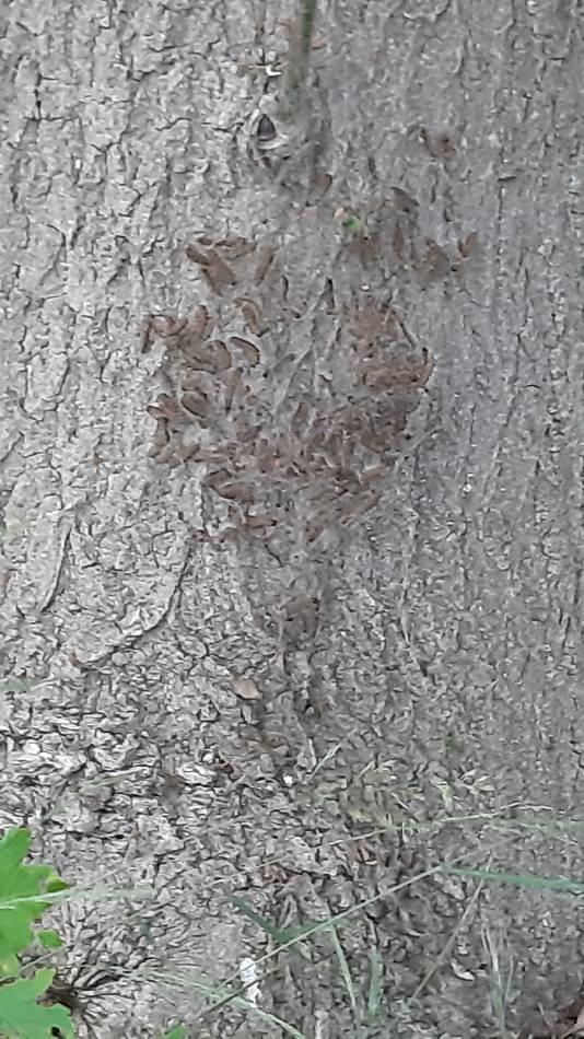 Een nest van de ruspen op een van de bomen in het bosje aan de Galberg in Cuijk.